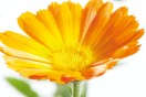 Natural ingredients: Calendula