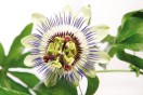 Natural ingredients: Passiflora